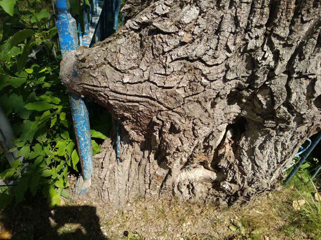 дерево сквозь забор